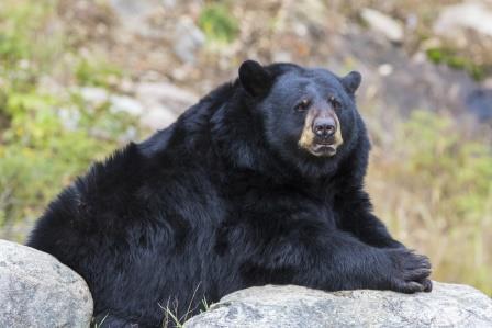 Black Bear-copyrighted image