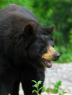 Black Bear-copyright nialat