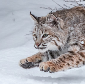 Bobcat in Snow-copyrighted image