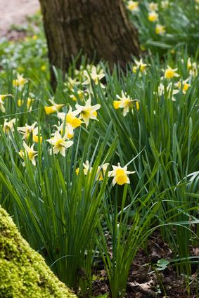 Daffodils in Spring-copyright Colette/Fotolia.com