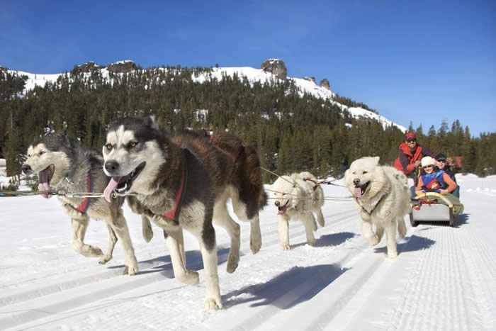 Husky Dogs and Sled