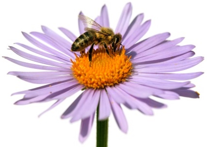 Flower and Bee-copyrighted image