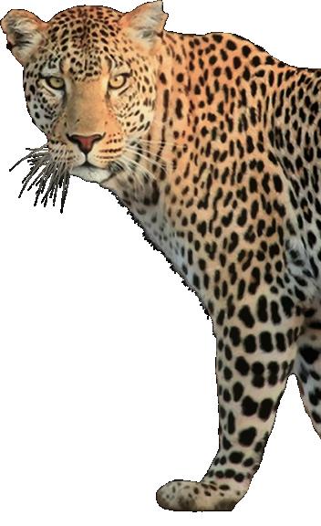 Leopard-Open Clip Art-GDJ